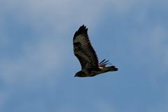 _F0A4159.jpg (Kico Lopez) Tags: birds rio spain aves galicia lugo mio busardoratonero