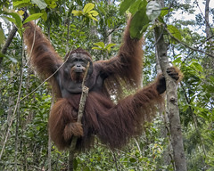 Classic pose (tmeallen) Tags: orangutan large dominantmale jungle hangingfromtrees longhair cheekflanges throatpouch tanjungputingnationalpark kalimantanprovince indonesia borneo classicpose