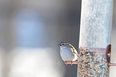 2016 Chipping Sparrow 5 (DrLensCap) Tags: park chicago bird robert nature illinois village north center il sparrow kramer chipping