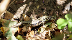 2016.07.014 Abbotsbury (141) (Kotatsu Neko 808) Tags: uk england gardens dorset subtropical abbotsbury commonlizard abbotsburysubtropicalgardens