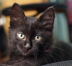 Kitty (Alexsandra Machado (temporarily offline)) Tags: pet cute kitty preto fofinho fluffly