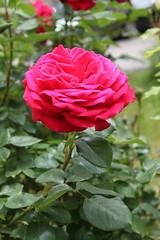 Rose Flower (sb.estate) Tags: pink flower rose sommer natur rosa grn blume sonne farbe schn collor