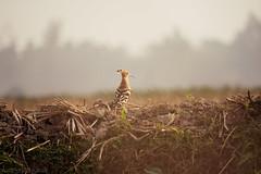 ||  //  //   // Hoopoe (Upupa epops) || (NahidHasan95) Tags: wildbird wildlife bird animal outdoor sunlight lastlight grass color love lonely alone winter bangladesh landscape field ngc