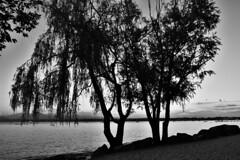 Sound of Silence (norella.giorgia) Tags: blackandwhite lake tree beach nikon italia weepingwillow albero biancoenero lagodigarda salicepiangente peschieradelgarda d5500 gardaslake