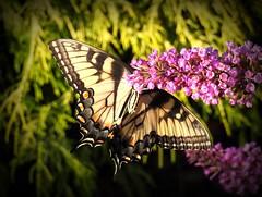 Eastern Tiger Swallowtail Female (Trish Overton) Tags: easterntigerswallowtailfemale butterfly butterflies evansville in underside