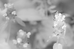Ethereal (blamethecrane) Tags: flower flowers floral nature black white moth butterfly ethereal