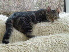 Masai ! (Mara 1) Tags: cat kitten pet animal tabby stripes indoors