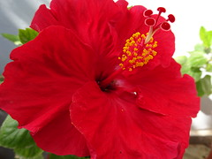 DSC02459 (omirou56) Tags: 43 sonydscwx500 greece hibiscus red flower garden nature natur natura outdoor ratio macro