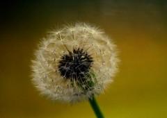***** (ursulamller900) Tags: dandelion löwenzahn wishes pentacon28100 macro golden