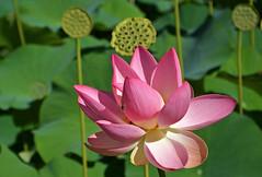 HydroPhyllum (Giuliana 57) Tags: foglie lago reflex natura piemonte ape fiori fiore petali api corolla insetto stagno nettare hydrophyllum ninfee roero fioridiloto nikond5200 giuliana57 giulianacastellengo