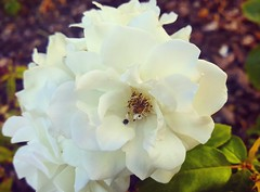 #Insect #whiteflower (cielodelacruz) Tags: whiteflower insect