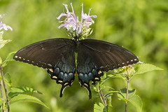 Spicebush Swallowtail (Papilio troilus) (AllHarts) Tags: spicebushswallowtailpapiliotroilus spac hollyspringsms naturescarousel ngc npc