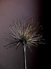 Spent (YAZMDG (16,000 images)) Tags: clairobscure agapanthus spent seedhead