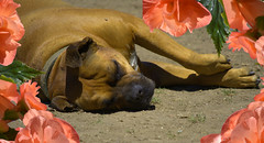 A Time To Rest (swong95765) Tags: dog canine animal rest sleep snooz flowers dirt siesta warm sun