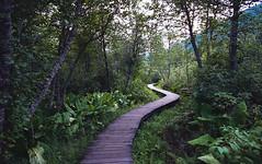 Skunk Cabbage Boardwalk (eric.vanryswyk) Tags: giant cedars boardwalk landscape trees forest rainforest nikon f4s nikkor 20mm f18 kodak ektar 100 british columbia canada revelstoke outdoor plant tree