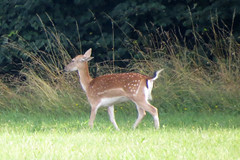 (***toile filante***) Tags: reh animal wald forest woods wiese meadow lichtung deer