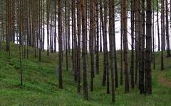 dbki coastal pines (kexi) Tags: green grass trees pines many coastal dbki poland polska pomorze pomerania canon june 2015