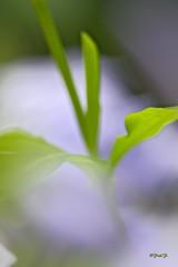 ...Dream Plumbago... (fredf34) Tags: plumbago dream dreamplumbago pentax pentaxk3 smcpentaxa35105mmf35 panagor k3 fleur flower fredf34 fredfu34 macro proxi vert bleu bokeh