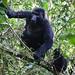 Mountain Gorilla (Gorilla beringei).