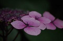 Bretagne (56) (FloLfp) Tags: fleur bretagne rosée matin rose morbihan 56 hortencia hydrangea