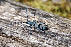 Rosalie des alpes - Rosalia alpina (Mathias Dezetter) Tags: beetle scarabé coléo coléoptère coleoptera insect insecto insecte invertébré arthropode rosalie alpes montagne bois forêt
