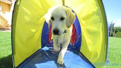 Jag är framme! (J Tube-Films) Tags: scooby godlen retriever söt gullig valp valpar puppy cute leker rörelse hund hundvalp