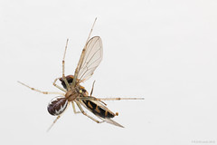 the last hover (rich lewis) Tags: macro macrophotography nature spider hoverfly death richlewis