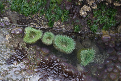 Beach 4, Olympic National Park, tide pools, anemone (kurtloup) Tags: beach4 olympicnationalpark tidepools anemone nikkor 55mm f35 micro ais