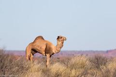 Feral Camel (Camelus dromedarius) (BenParkhurst) Tags: animal outdoor mammal feral camels camelus dromedarius dromedary wa western australia canning stock route