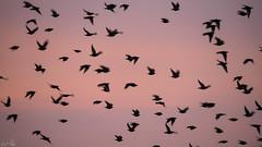 Mini Murmuration (Emmog) Tags: murmuration starling starlings nature wildlife animals birds murmurations evening sunset
