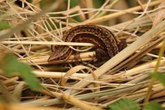 Lizard (Tony Howsham) Tags: rspbminsmere rspb minsmere canon eos70d sigma 18250 common lizard