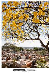 Vida e morte (angela.macario) Tags: ipe amarelo cerrado goiania goias angela macario cemiterio vida morte
