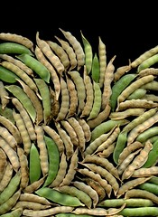57677.01 Pisum sativum (horticultural art) Tags: horticulturalart pisumsativum pisum peas seedpods