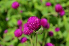 NYBG_122 (chiang_benjamin) Tags: nybg newyorkbotanicalgarden ny nyc bronx newyorkcity flowers trees arboretum plants green nature summer monetexhibit impressionism