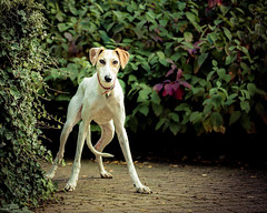 On my own (2 of 3) (d3max) Tags: 5dmk3 canine canon charity dogs martinhillphotography rehoming rescue volunteering woodgreenanimalcharity lurcher