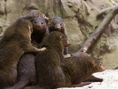 Mongoose (alex props) Tags: prospectparkzoo nyc mongoose