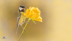 talking to roses (Geert Weggen) Tags: nature animal perennial closeup cute plant funny happy summer ground bright light branch yellow bird tit titmouse flower white rose stem wing fly farewell goodbye sweden geert weggen jmtland ragunda