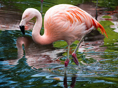 Zoo Zrich 14 (akumaohz) Tags: zoo tierpark tiergarten tier tiere animal animals nikon d3200 outdoor drausen natur nature rot rosa red pink flamingo baden bath see lake schweiz switzerland zrich vogel vgel bird birds