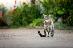Stay that way for the rest of the day and watch the time go (surfingstarfish) Tags: cat katze animal tier hof concrete boden floor grey getigert grau focus fokus fokussiert watching beobachten observation observe animallife sitting sitzen