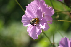 Busy Bee (eyriel) Tags: flower garden macro bokeh nature wildlife purple