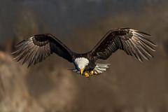 Just Hanging! (Andy Morffew) Tags: baldeagle inflight bif searching kachemakbay alaska andymorffew morffew explore inexplore naturethroughthelens