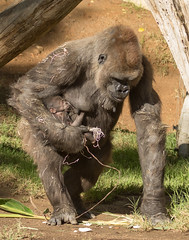 "Day 2: "" It's a girl! "" (ToddLahman) Tags: winston kokamo sandiegozoosafaripark safaripark canon7dmkii canon canon100400 baby babygorilla westernlowlandgorilla gorilla escondido"