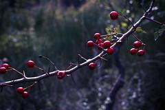 DSC_3232 (guglielmi.federica21) Tags: berries bacche nature natura branches ramo wood bosco red wild