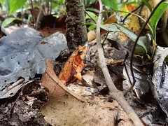 Frog in Madidi National Park - Amazon forest - Bolivia (pacoalfonso) Tags: pacoalfonsocom frog wildlife bolivia travel nature amazon amazonas forest jungle wild madidi adventure national park