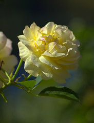 Keep Smiling (swong95765) Tags: rose yellow bush bokeh flower flowers symbol expression