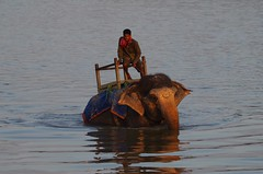Cooling off (Heather.H.) Tags: elephant bathing chitwan mahout river