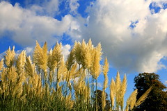 On Cloud Nine (acwills2014) Tags: clouds white grasses pampas pampasgrasses tyntesfield fluffy oncloudnine