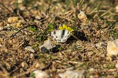Western Dappled White 1DX12673.jpg (alanmcbride1) Tags: france occitanie gruissan languedoc rocdeconhillac euchloecrameri butterflies westerndappledwhite butterfly aude