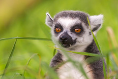 Looks like a Gremlin (Click U) Tags: ring tailed lemur canon 1dmkiv 300mm f28is 14x