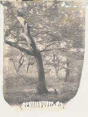 Woodland (~ Meredith ~) Tags: polaroidweek autumn2016 new55film positive intrepidcamera instantfilm ishootfilm sheshootsfilm filmisnotdead filmphotography filmwins largeformat 4x5 snapitseeit heyfsc thepolavoid bw bwphotography monochrome chasinglight woodland trees nature